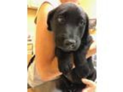 Adopt Abiliene a Black Labrador Retriever / Mixed dog in Hood River