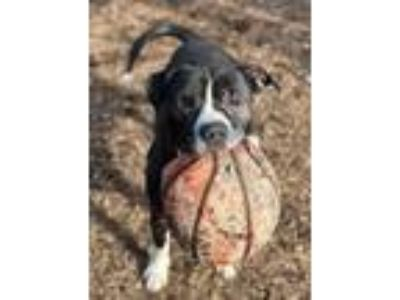 Adopt Bowser a Pit Bull Terrier