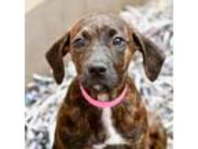 Adopt Periwinkle a Brindle Hound (Unknown Type) / American Pit Bull Terrier /