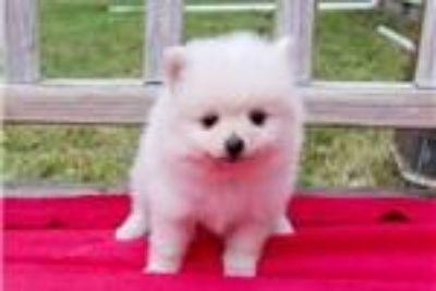Adorable Pedigree Pomeranian Puppies Ready