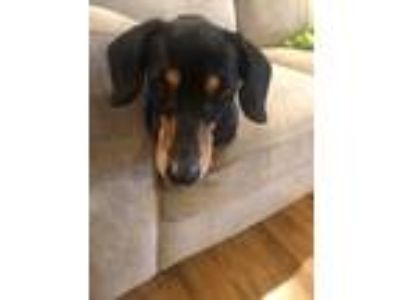 Adopt Delia a Black - with Tan, Yellow or Fawn Dachshund / Mixed dog in