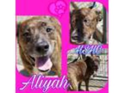 Adopt Aliyah a Shepherd (Unknown Type) / Mixed dog in Henderson, KY (25328515)
