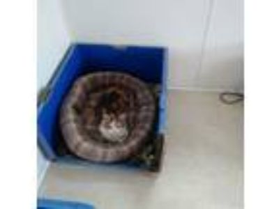 Adopt Jayla a Calico or Dilute Calico Domestic Shorthair (short coat) cat in