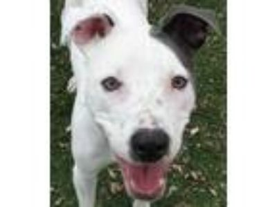 Adopt Cortez a White American Staffordshire Terrier / Boxer / Mixed dog in