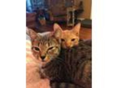 Adopt Ellen a Gray, Blue or Silver Tabby Domestic Shorthair (short coat) cat in