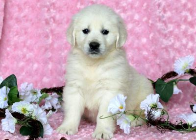 Golden Retriever PUPPY FOR SALE ADN-79207 - English Cream Golden Retriever Puppy