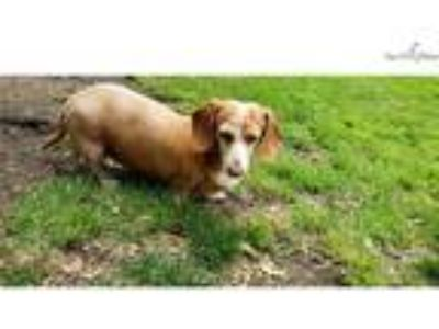 Heidi is a female senior smooth cream doxy