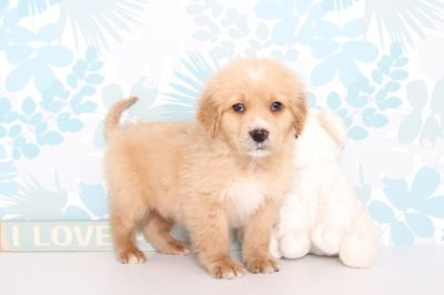 Goldendoodle PUPPY FOR SALE ADN-63088 - Nate Male MINI Goldendoodle Puppy