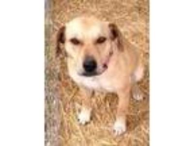 Adopt Maddy a Labrador Retriever / Staffordshire Bull Terrier / Mixed dog in