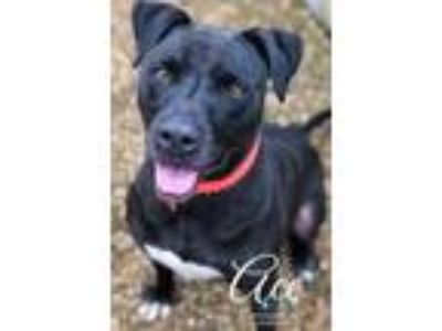 Adopt Ace a Black Labrador Retriever / Mixed dog in Belle Chasse, LA (22209849)