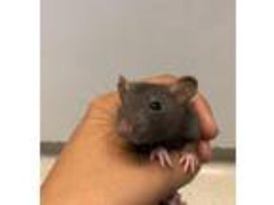 Adopt Baby rats a Brown or Chocolate Rat (short coat) small animal in Rohnert