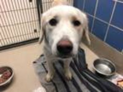 Adopt MISSY a Golden Retriever, Mixed Breed