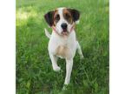 Adopt Shelia a Brown/Chocolate - with White Hound (Unknown Type) / St.