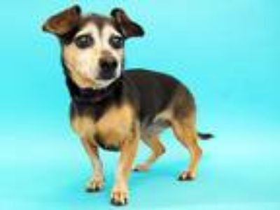 Adopt MISTY a Black - with Tan, Yellow or Fawn Dachshund / Mixed dog in St.