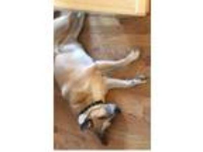 Adopt Fizz a Tan/Yellow/Fawn Carolina Dog / Mixed dog in Greer, SC (24588744)