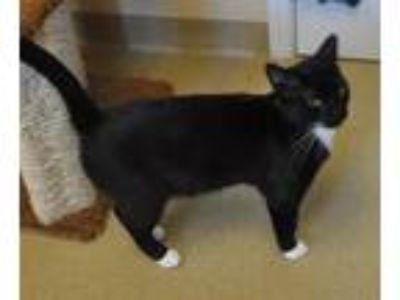 Adopt Jax a All Black Domestic Shorthair / Domestic Shorthair / Mixed cat in