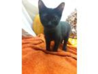 Adopt Naomi a Domestic Short Hair