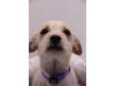 Adopt Nomie a Wirehaired Terrier, Terrier