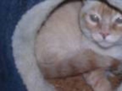 Adopt Magoo - sponsor only a Siamese