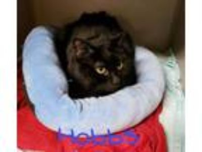 Adopt Hobbs a Domestic Short Hair