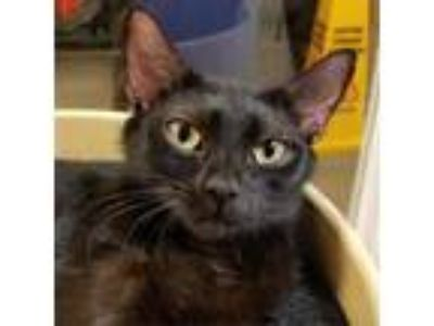 Adopt Susan a All Black Domestic Shorthair cat in Atlanta, GA (25861187)