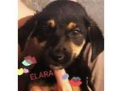 Adopt Elara a Brown/Chocolate - with Tan Labrador Retriever / Mixed Breed