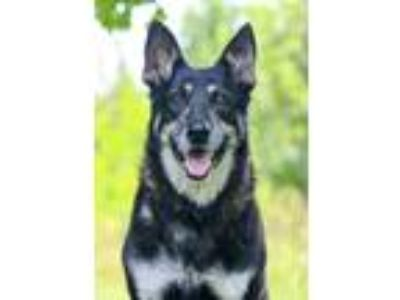 Adopt Evelyn a Black - with Tan, Yellow or Fawn German Shepherd Dog / Mixed dog