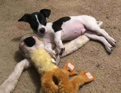 Rat Terrier Mix