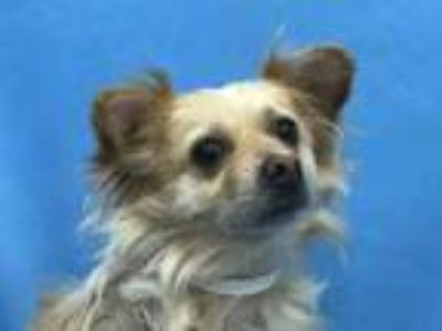 Adopt Knox a Tan/Yellow/Fawn Spaniel (Unknown Type) / Pomeranian / Mixed dog in