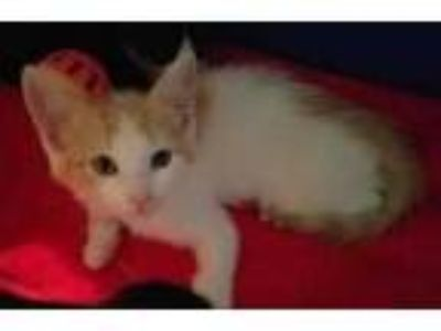 Adopt Anafi a Orange or Red Domestic Shorthair / Domestic Shorthair / Mixed cat