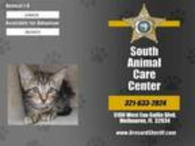 Adopt MEWS a Brown Tabby Domestic Shorthair / Mixed (short coat) cat in