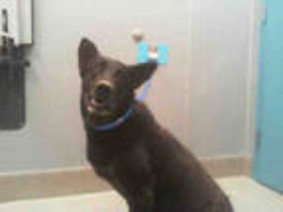 Adopt *BAILEY a Black - with Gray or Silver German Shepherd Dog / Mixed dog in