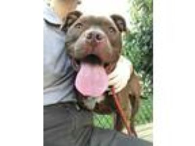 Adopt Drake a Brown/Chocolate American Pit Bull Terrier / Mixed dog in