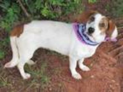 Adopt WENDY a Beagle, Mixed Breed