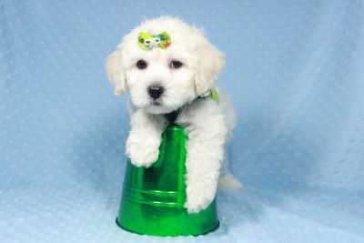 Toy and Teacup Maltipoo puppies!