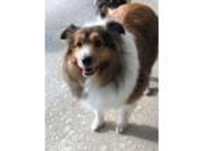 Adopt Belle a Shetland Sheepdog / Sheltie