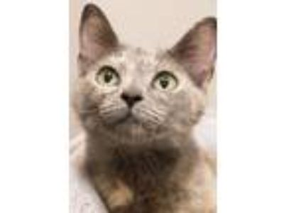 Adopt Evelina a Dilute Tortoiseshell, Domestic Short Hair