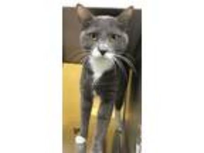 Adopt MAURICE a Domestic Short Hair