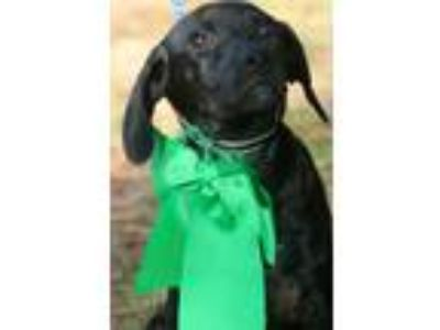 Adopt ROMAN a Black Shepherd (Unknown Type) / Labrador Retriever / Mixed dog in