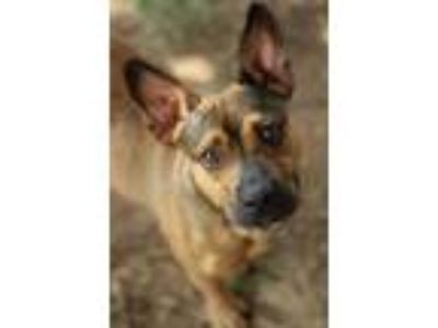 Adopt Babs a Terrier, German Shepherd Dog