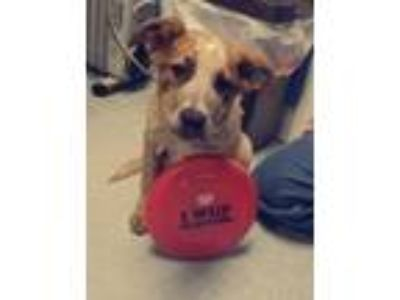 Adopt Amelia a Australian Cattle Dog / Blue Heeler