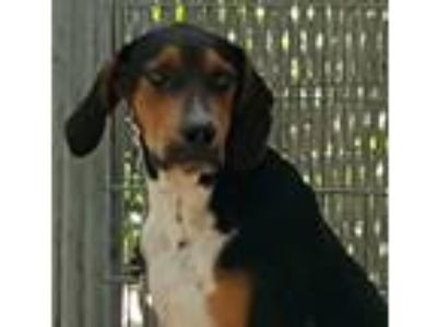 Adopt Kolby a Black - with Tan, Yellow or Fawn Hound (Unknown Type) / Mixed dog