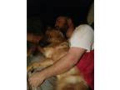 Adopt Teddy a Red/Golden/Orange/Chestnut - with White Australian Shepherd /