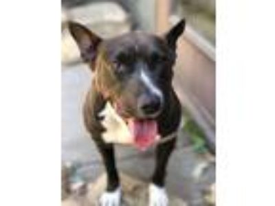 Adopt Shelly a Terrier, Staffordshire Bull Terrier