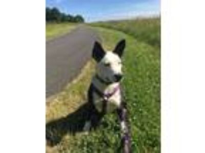 Adopt Shelby a White - with Black Cattle Dog / Pit Bull Terrier / Mixed dog in