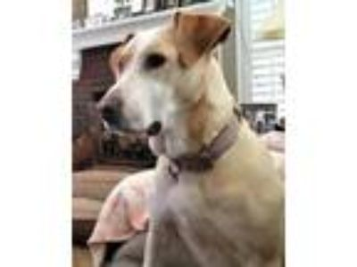 Adopt Athena a Yellow Labrador Retriever, Hound