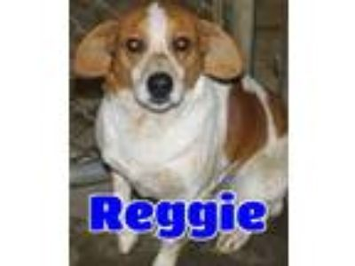 Adopt #94 Reggie a Red/Golden/Orange/Chestnut - with White Beagle / Mixed dog in