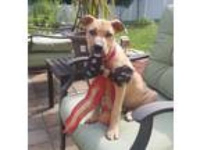Adopt Affectionate Goober a Boxer / Hound (Unknown Type) / Mixed dog in Potomac