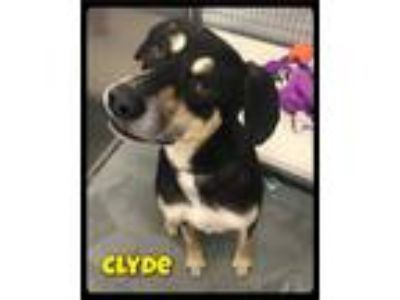 Adopt Clyde - 1905171 / 2019 a Black - with Tan, Yellow or Fawn Shepherd