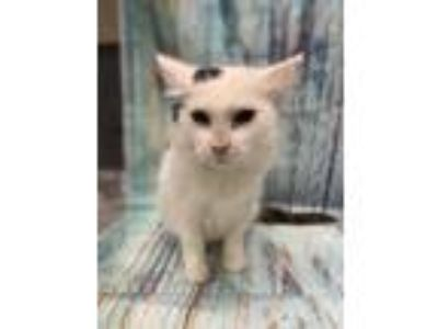 Adopt Sandra Dee a White Domestic Longhair / Domestic Shorthair / Mixed cat in